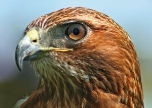 Massachusetts Birds Of Prey Somerville Public Library