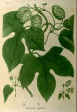 "humulus lupulus ""hops"""